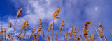 Wild Pampas Grass, Montana, USA Photographic Print by  Panoramic Images