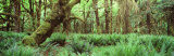 Rain Forest, Olympic National Park, Washington State, USA Photographic Print by  Panoramic Images