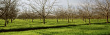 Orchard, San Joaquin, California, USA Photographic Print by  Panoramic Images