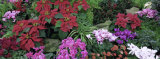 Close-up of Christmas Flowers, Botanical Gardens, Niagara Falls, Ontario, Canada Photographic Print by  Panoramic Images