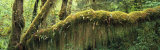 Creeper Covered Tree Trunk, Olympic National Park, Washington State, USA Photographic Print by  Panoramic Images