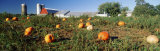 Pumpkin Crop Near Silo, Kent County, Michigan, USA Photographic Print by  Panoramic Images
