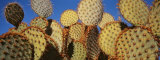 Close-up of Prickly Pear Cactus, Joshua Tree National Park, California, USA Photographic Print by  Panoramic Images