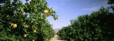 Crop of Lemon Orchard, California, USA Photographic Print by  Panoramic Images