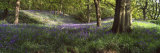 Bluebells in a Forest, Newton Wood, Texas, USA Photographic Print by  Panoramic Images