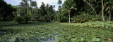 Water Lilies Growing in a Pond, Botanical Garden, Tahiti, French Polynesia Photographic Print by  Panoramic Images