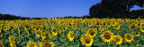 Sunflowers in a Field, Provence, France Photographic Print by Panoramic Images