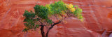 A Cottonwood Tree in Front of a Sandstone Wall, Escalante National Monument, Utah, USA Fotografisk trykk av Panoramic Images,