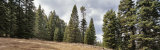 Low Angle View of Pine Trees in a Forest, Oregon, USA Photographic Print by  Panoramic Images