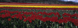 Tulips Growing in a Field, Provence, France Fotografie-Druck von Panoramic Images