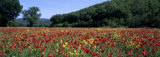 Poppies Growing in a Field, France Photographic Print by  Panoramic Images