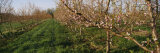 Plum Tree in an Orchard, Grand Rapids, Michigan, USA Photographic Print by  Panoramic Images
