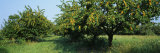 Apricot Tree in an Orchard, Grand Rapids, Michigan, USA Photographic Print by  Panoramic Images