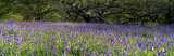 Lavender Flowers in a Field, England, United Kingdom Photographic Print by  Panoramic Images
