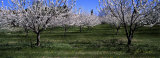 Cherry Trees in a Field, Provence, France Photographic Print by Panoramic Images 