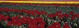 Tulips Growing in a Field, Provence, France Photographic Print by  Panoramic Images