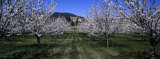 Cherry Trees Growing on a Field, Provence, France Photographic Print by  Panoramic Images