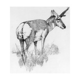 Drawing of the Nearly Extinct Sonoran Pronghorn Antelope Giclee Print by George Founds