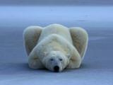 A portrait of a sleeping polar bear Fotografisk tryk af Norbert Rosing