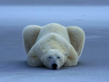 A portrait of a sleeping polar bear Photographic Print by Norbert Rosing