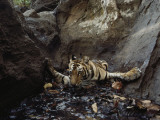 An Indian Tiger Takes a Dip in a Pool to Cool Off from the Heat Photographic Print by Michael Nichols