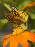 A Skipper-Type Butterfly Feeding on an Orange Flower Photographic Print by Darlyne A. Murawski