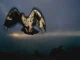Cresting a Summit, an African Hawk-Eagle Searches for Small Game Photographic Print by Chris Johns