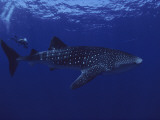 A Diver Swims with a 35-Foot-Long Whale Shark Photographic Print by David Doubilet