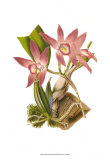Blushing Orchids I Prints by  Van Houtt