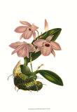 Blushing Orchids III Prints by  Van Houtt
