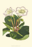 Gloxinia Garden IV Posters by  Van Houtt