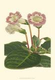Gloxinia Garden II Posters by  Van Houtt