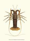 Antique Lobster IV Plakater af James Sowerby