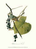 Finch Prints by John James Audubon