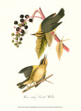 Warbler Art by John James Audubon