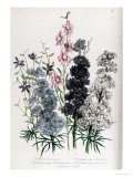 "Delphiniums, Plate 3 from ""The Ladies"" Flower Garden"", Published 1842 Giclee Print by Jane W. Loudon"