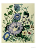 "Bindweed, Plate 26 from ""The Ladies"" Flower Garden"", Published 1842 Giclee Print by Jane W. Loudon"