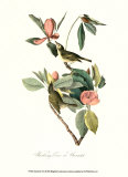 Vireo Art by John James Audubon