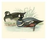 Morris Ducks IV Giclee Print by Reverend Francis O. Morris