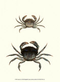Antique Crab I Posters by James Sowerby