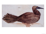 Brown Booby Giclee Print by John White