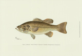 Large-Mouthed Black Bass Prints by Denton 