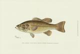 Large-Mouthed Black Bass Láminas por  Denton