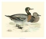 Morris Ducks III Giclee Print by Reverend Francis O. Morris