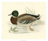 Morris Ducks I Prints by Reverend Francis O. Morris
