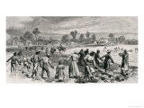 Labour in the Cotton Fields, Hoeing the Young Plants, Illustration from &quot;Harper&#39;s Weekly&quot;, 1867 Reproduction proc&#233;d&#233; gicl&#233;e par Alfred Rudolf Waud