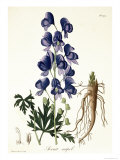 "Aconitum Napellus from ""Phytographie Medicale"" by Joseph Roques, Published in 1821 Giclee Print by L.f.j. Hoquart"
