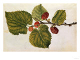 Mulberry: Morus Nigra, circa 1568, by J.Le Moyne de Morgues Giclee Print