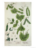 "Pea, Plate from ""Herbarium Blackwellianum"" by the Artist, 1757 Giclee Print by Elizabeth Blackwell"