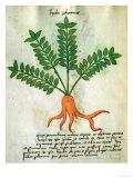 Herba Nastrusio, from Liber Herbarius Una Cum Rationibus Conficiendi Medicamenta by Rizzardo Giclee Print